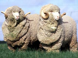 Мереносовые овцы