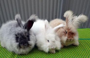 """Что такое """"ангорский кролик"""""""